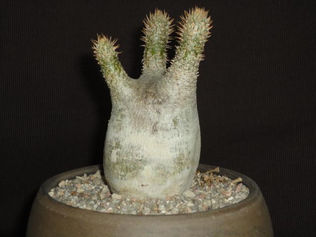 Pachypodium rosulatum Dsc02413
