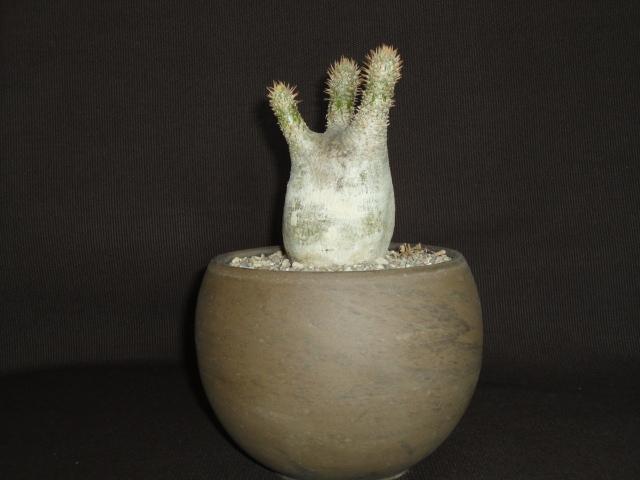 Pachypodium rosulatum Dsc02414