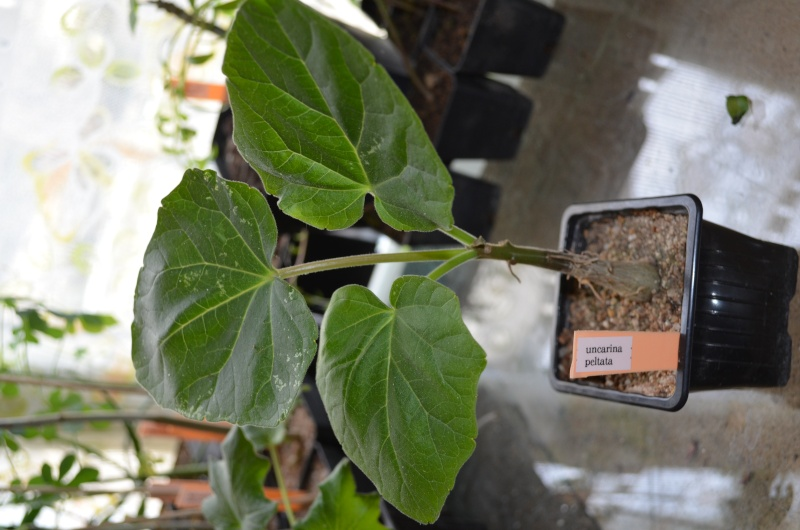semis d'uncarina Dsc_0019