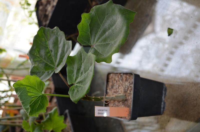 semis d'uncarina Dsc_0020