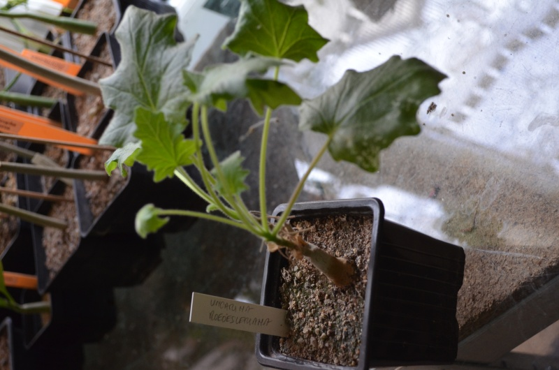 semis d'uncarina Dsc_0021