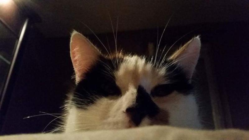 Perdu chatte tricolore à La combelle 12363110