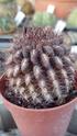 Mes plantas Eriosy11