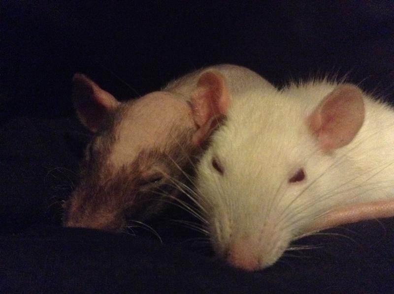 Voilà les trois rattes ! Image16