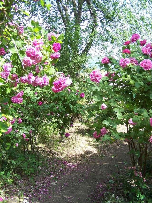 notre jardin sauvage Rosier10