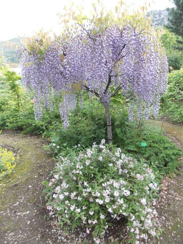 notre jardin sauvage Wister12
