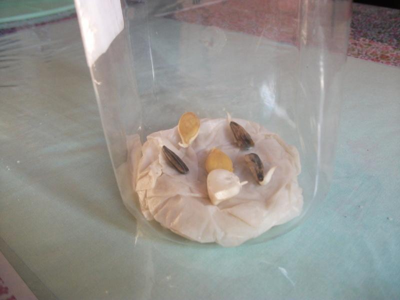 semis sur sopalin humide Dscf9010