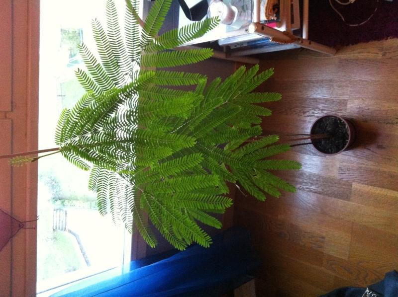 Mimosa pudica?  Photo_11