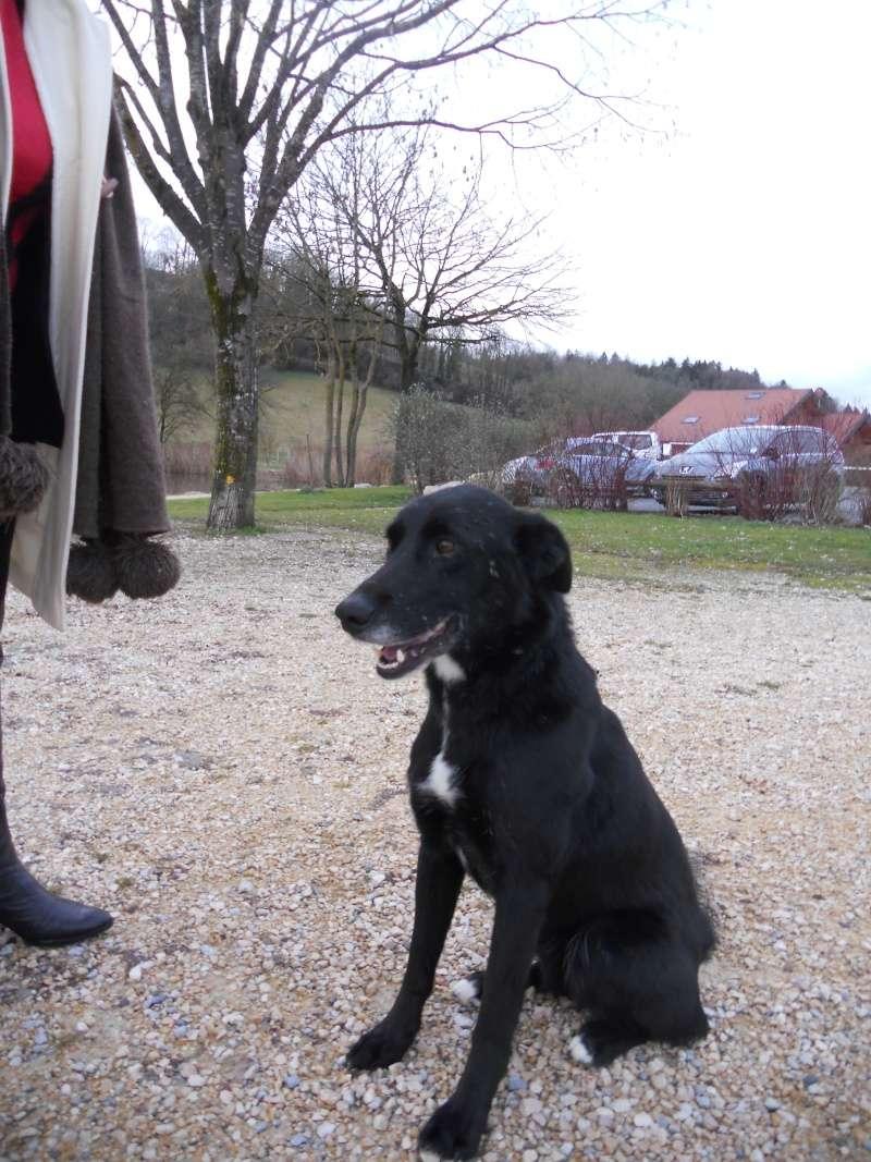 kIRA - Croisée border/labrador, 3 ans - en TRES GRANDE urgence sur le 74 Dscn1911