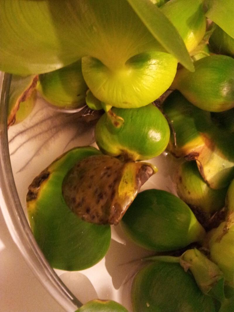 Problème avec mes Hyacinthes d'eau! Img_2012