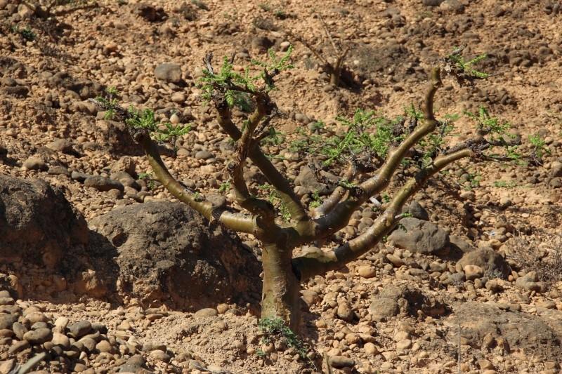 Boswellia sacra (Oman - Dhofar) Img_3614