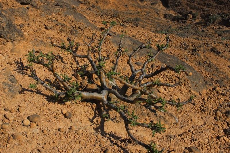 Boswellia sacra (Oman - Dhofar) Img_3615