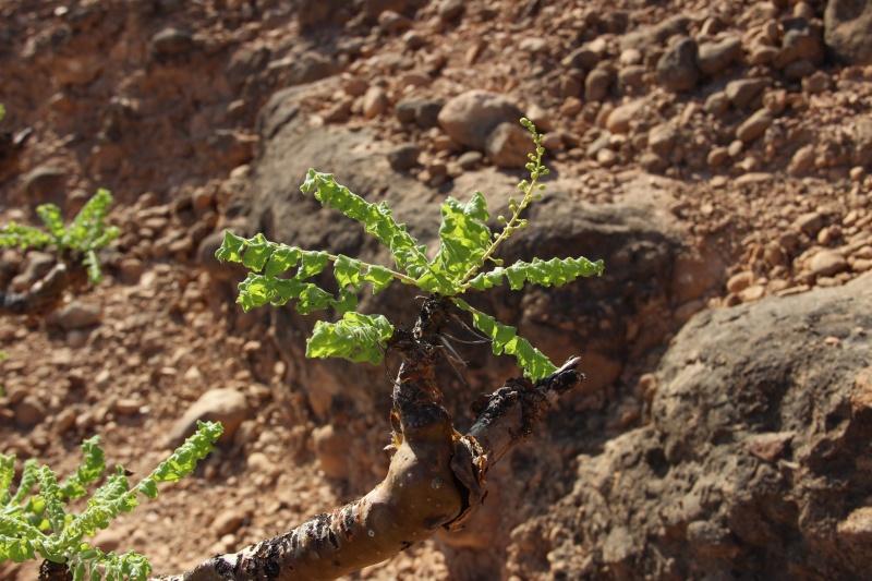 Boswellia sacra (Oman - Dhofar) Img_3616