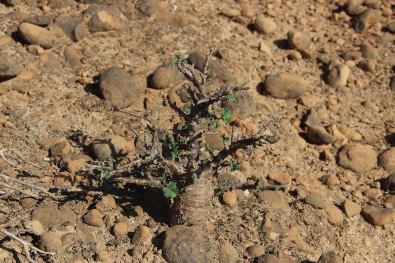 JATROPHA pelargonifolia v.sublobata  -  OMAN (Dhofar) Img_3624
