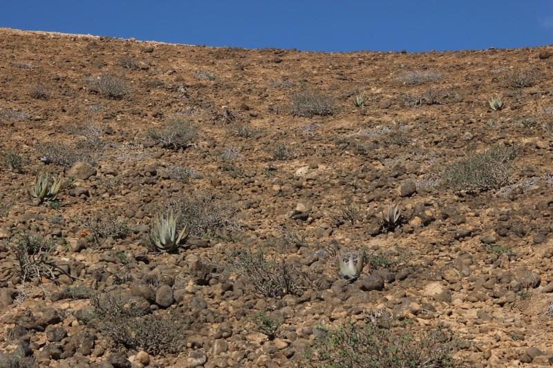 JATROPHA pelargonifolia v.sublobata  -  OMAN (Dhofar) Img_3625