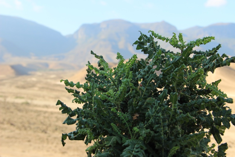 Boswellia sacra (Oman - Dhofar) Img_3719