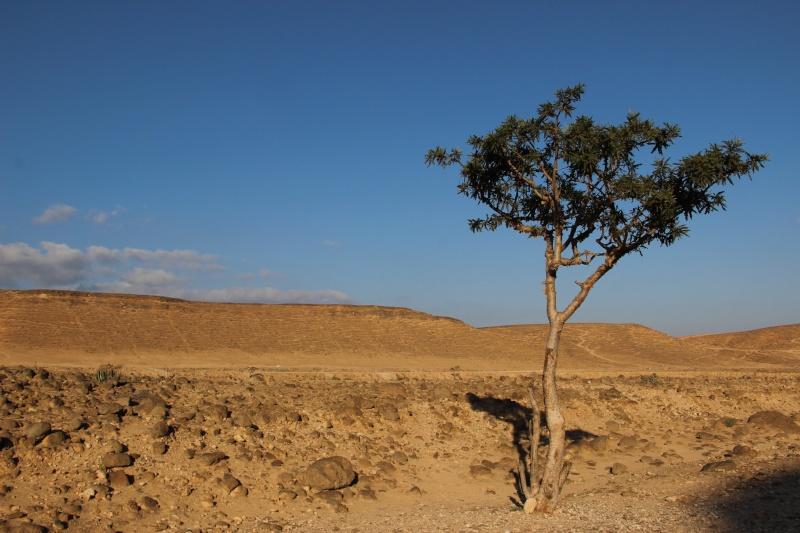 Boswellia sacra (Oman - Dhofar) Img_3720