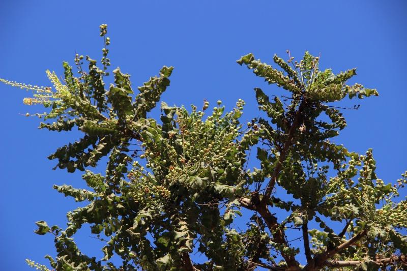 Boswellia sacra (Oman - Dhofar) Img_3721