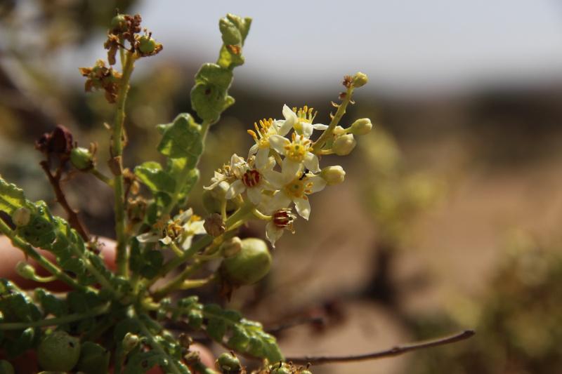 Boswellia sacra (Oman - Dhofar) Img_3910