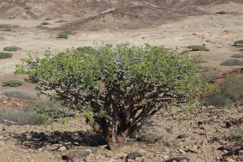 Boswellia sacra (Oman - Dhofar) Img_4510