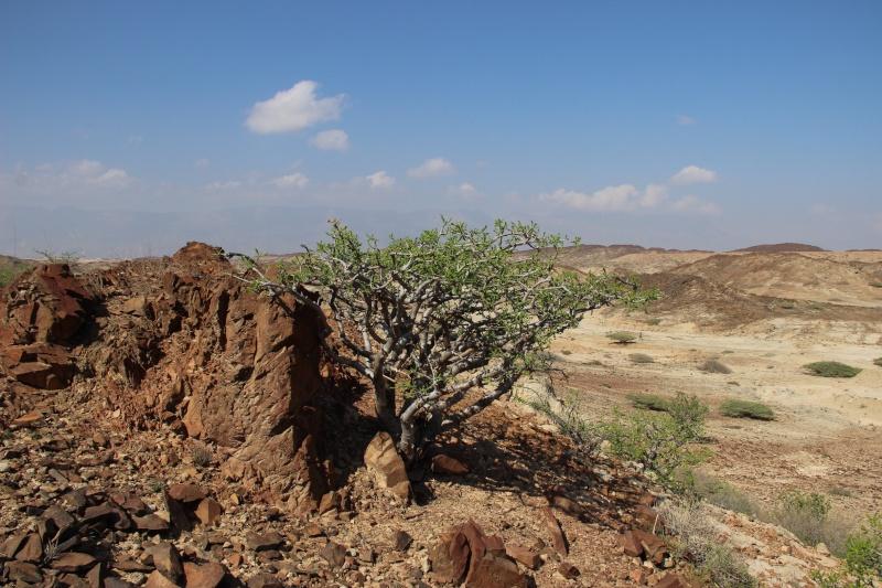 Boswellia sacra (Oman - Dhofar) Img_4511