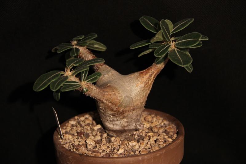 Pachypodium rosulatum Img_5417