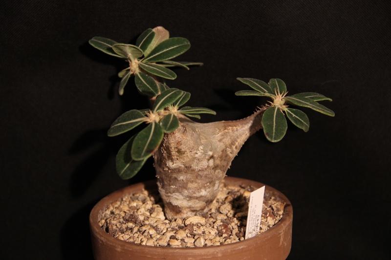Pachypodium rosulatum Img_5418