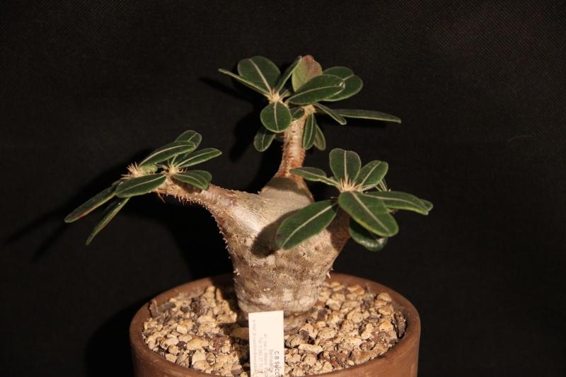 Pachypodium rosulatum Img_5419