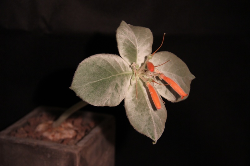Sinningia leucotricha Img_5420