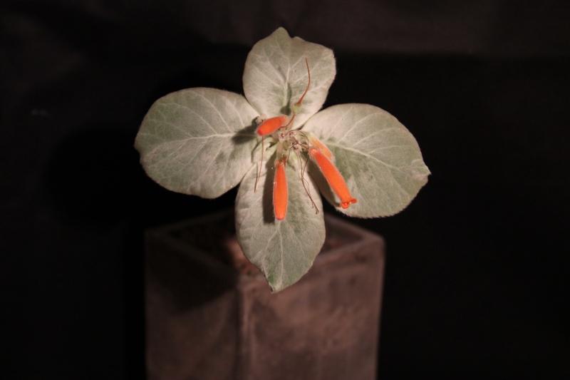 Sinningia leucotricha Img_5421