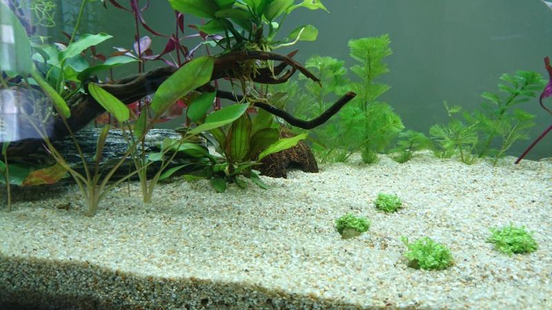 Lancement aquarium 240 litres population Amazonie  - Page 2 Dsc_0149