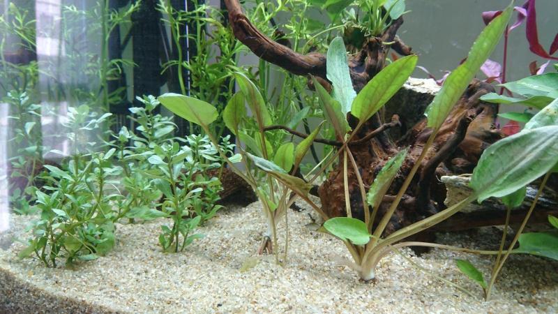 Lancement aquarium 240 litres population Amazonie  - Page 2 Dsc_0150