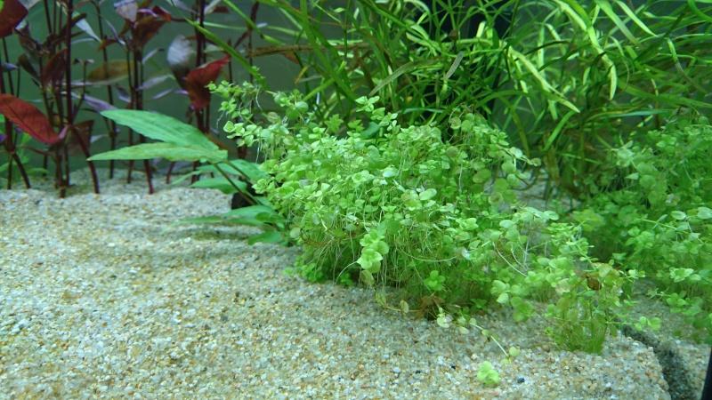 Lancement aquarium 240 litres population Amazonie  - Page 2 Dsc_0156