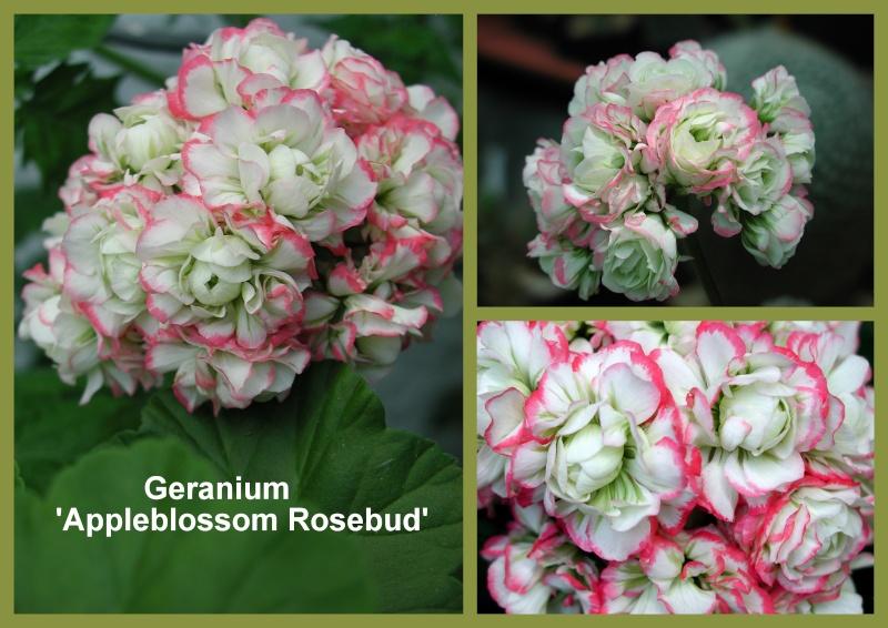 Pelargonium - Pelargonien - alle nichtsukkulenten Arten und Sorten - Aussaat - Stecklinge - Seite 19 Collag11