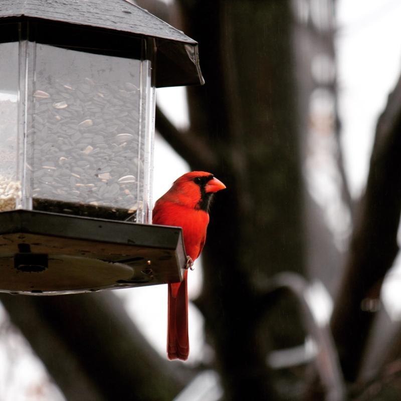 Cardinal Image12