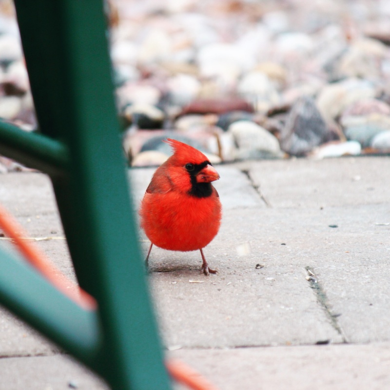 Cardinal Image14