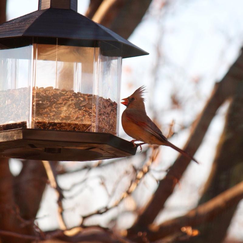 Cardinal Image15
