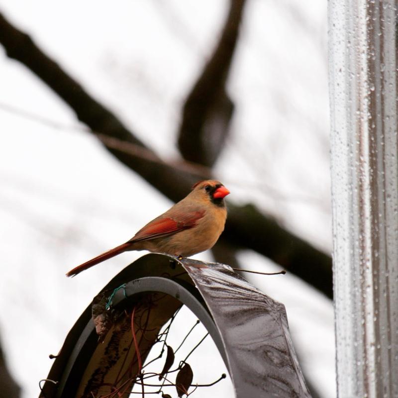 Cardinal Image20