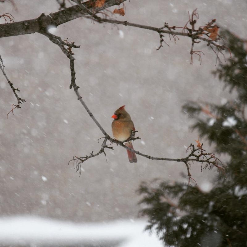 Cardinal sous la neige Image49
