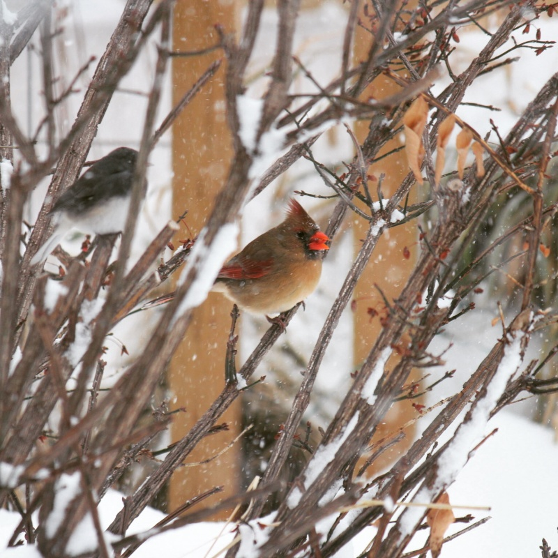 Cardinal sous la neige Image51