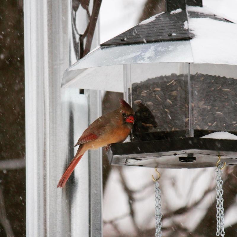Cardinal sous la neige Image52