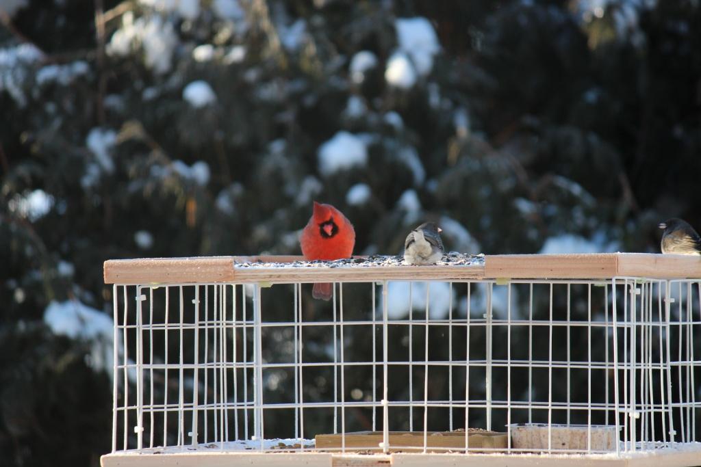 cardinal matinal  Img_0010