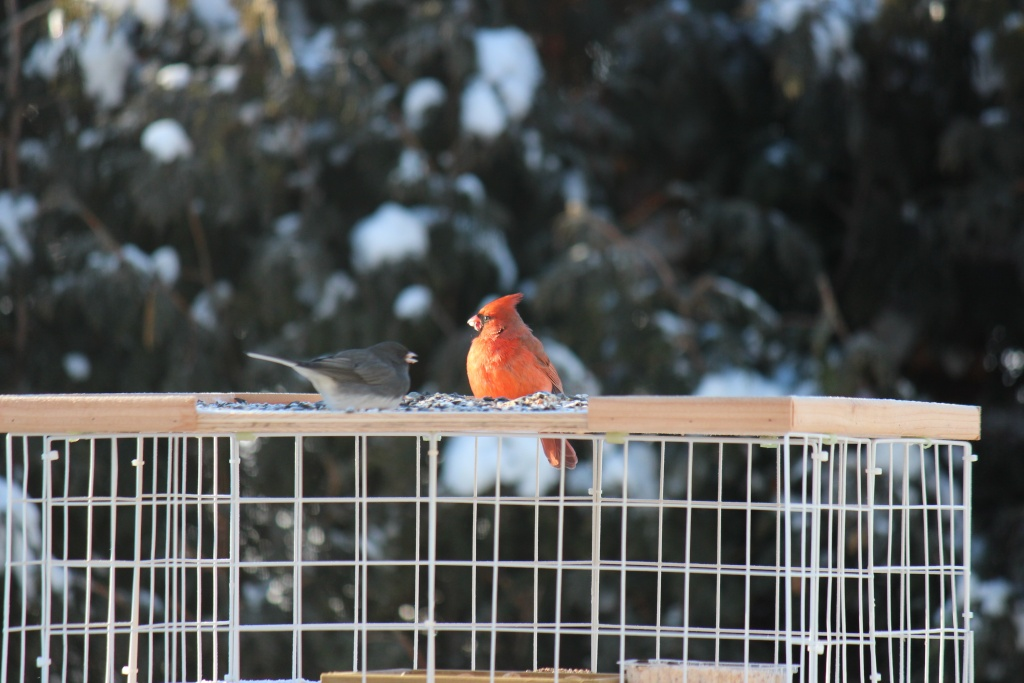 cardinal matinal  Img_0011