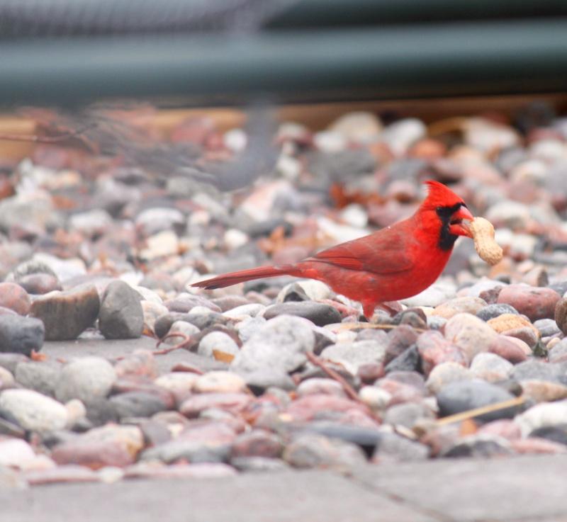 Cardinal Img_9614