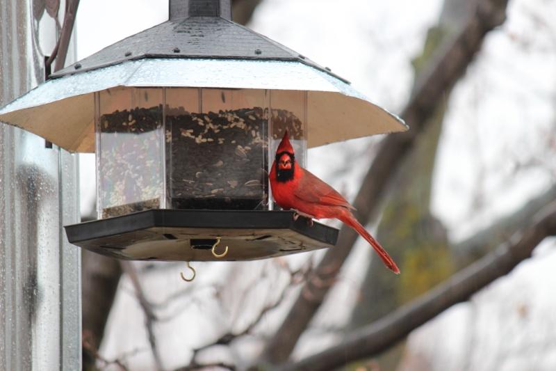 cardinals Img_9710