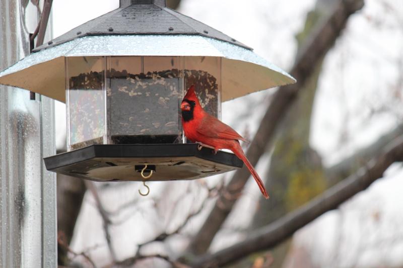cardinals Img_9711