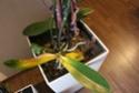 Orchideen Blätter werden gelb und Pflanze geht ein *Hilfe* Img_9413