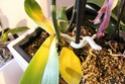 Orchideen Blätter werden gelb und Pflanze geht ein *Hilfe* Img_9415