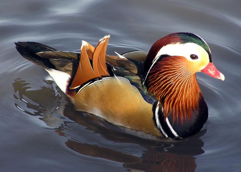 Canards - nouvelles espèces 1024px10