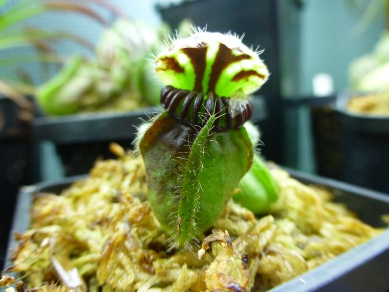photos de céphalotus Dudley10